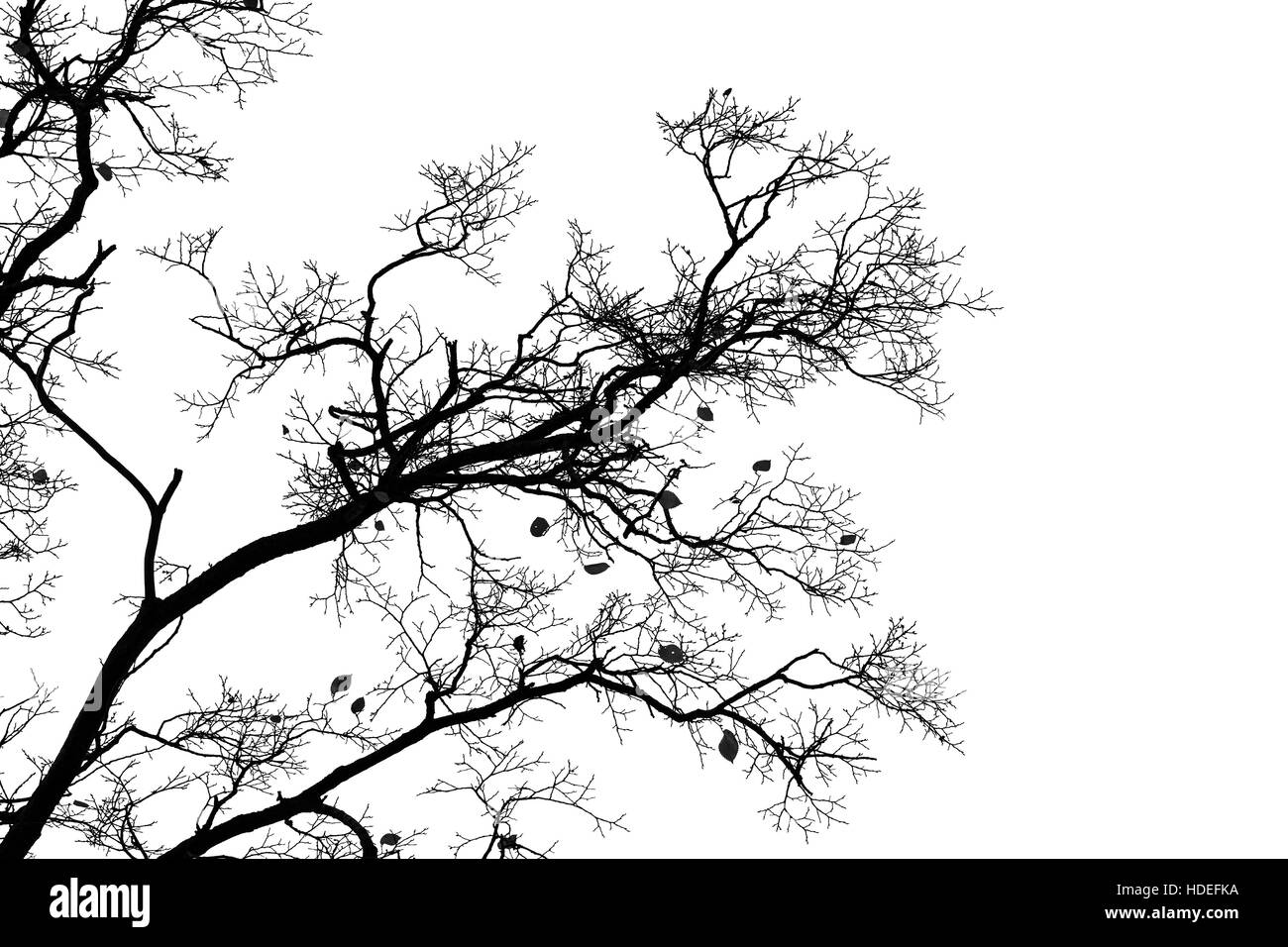 Leafless bare trees isolated on white sky background. Monochrome silhouette photo - Stock Image