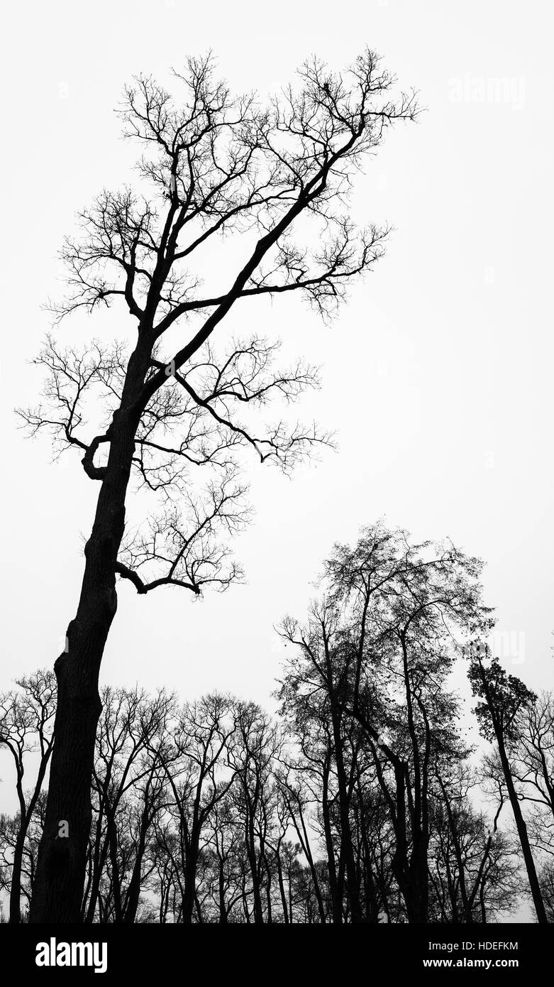 Leafless bare trees over white sky. Vertical monochrome background photo - Stock Image