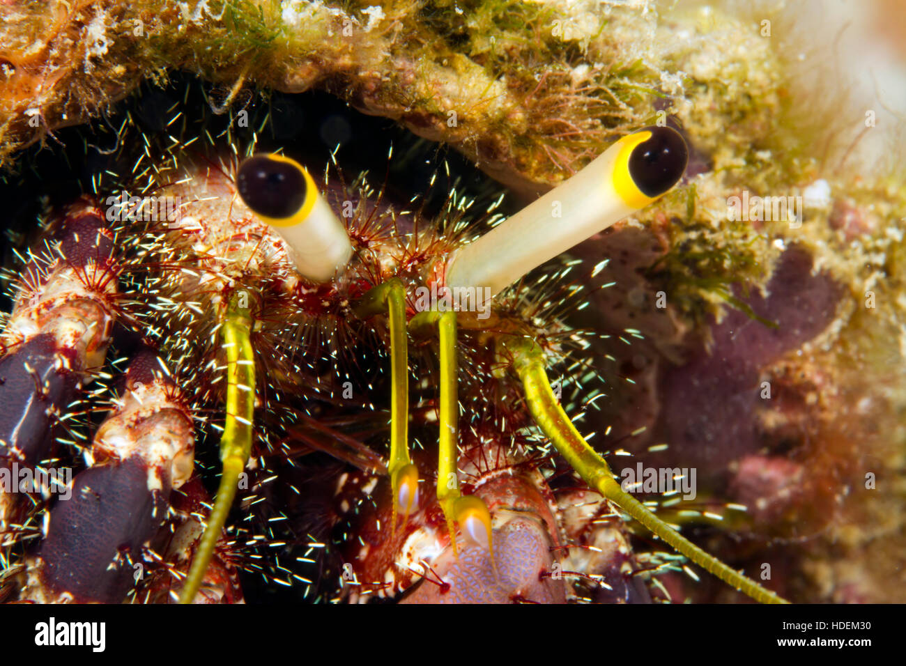 UNderwater macro photography. HErmit crab eyes. - Stock Image