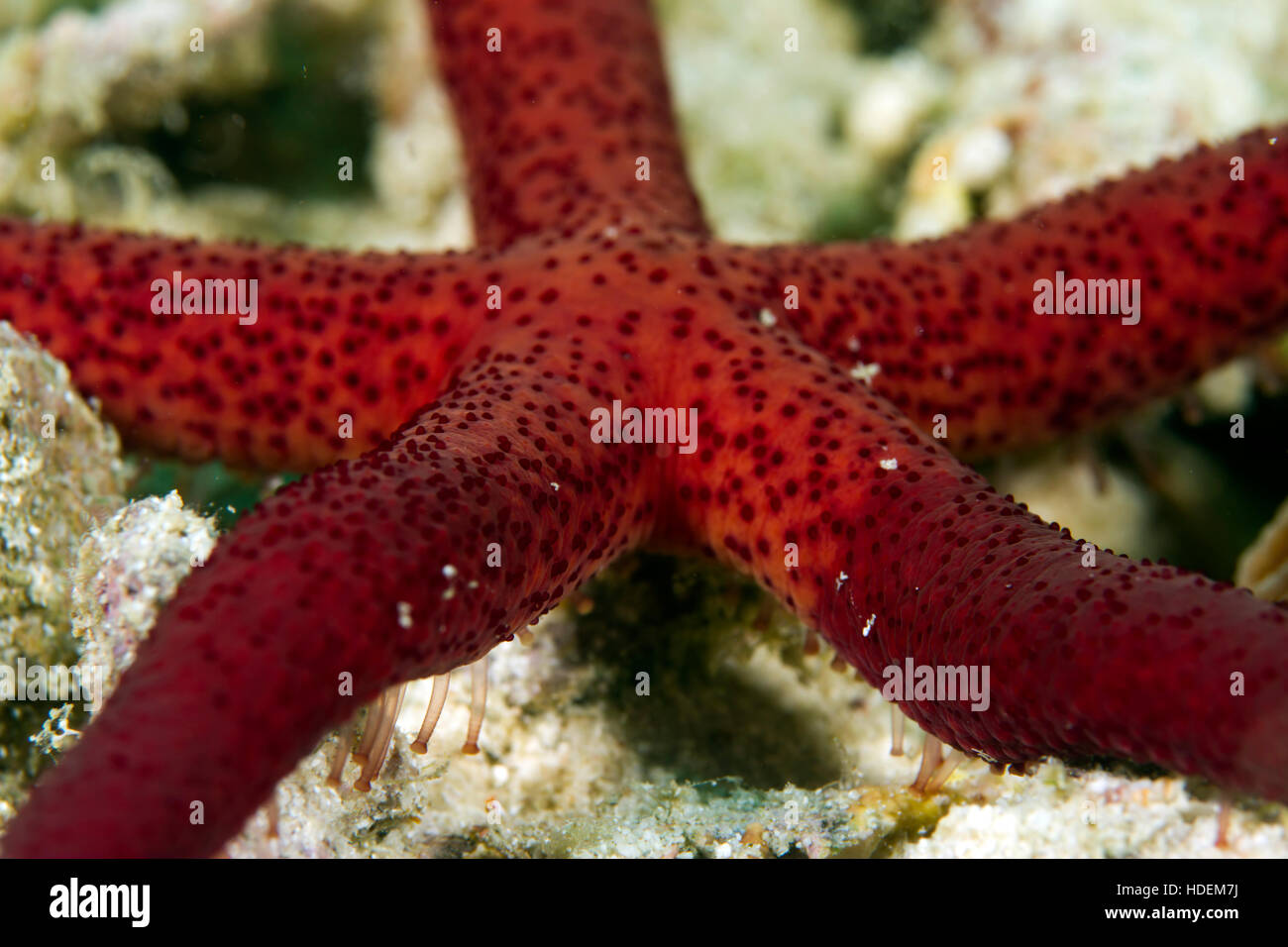 UNderwater macro photography. A red starfish with tube feet visible. - Stock Image