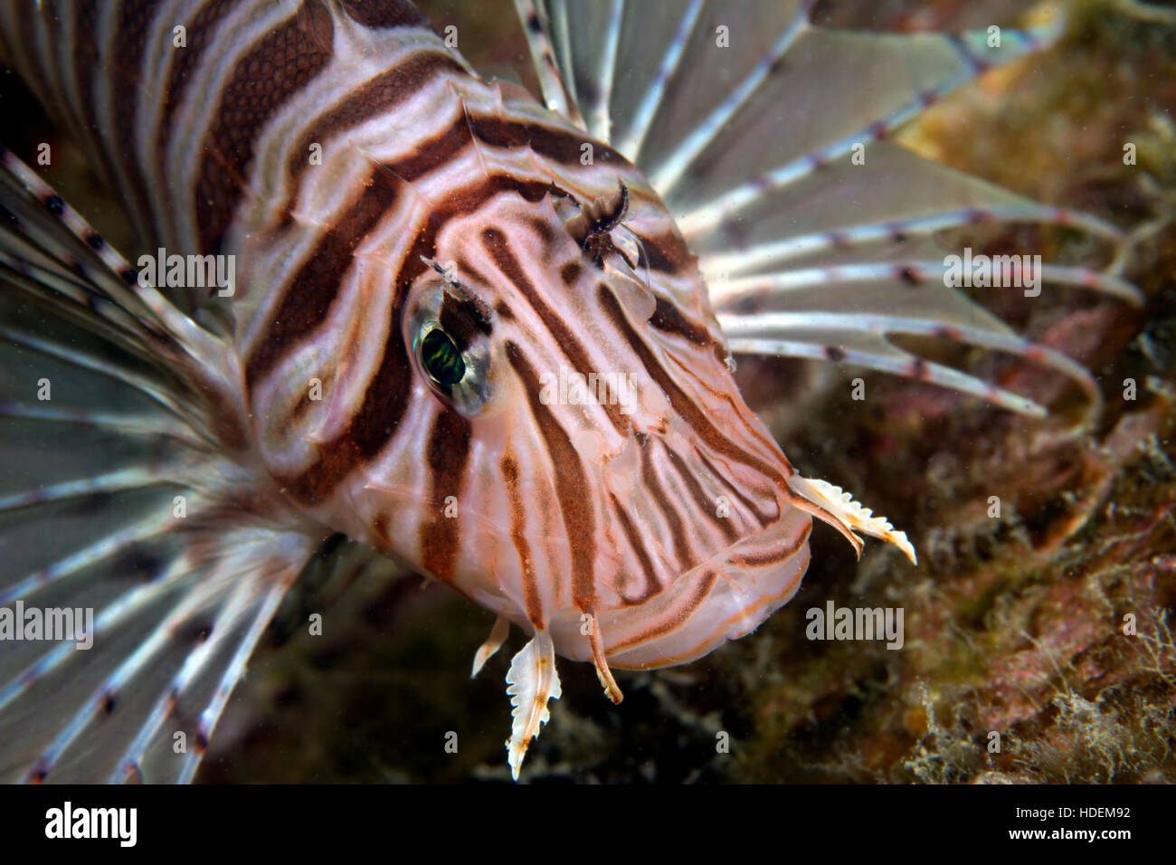 A beautiful yet lionfish with electric eyes. As magnificent as it is deadly both in attack and defense. Underwater - Stock Image