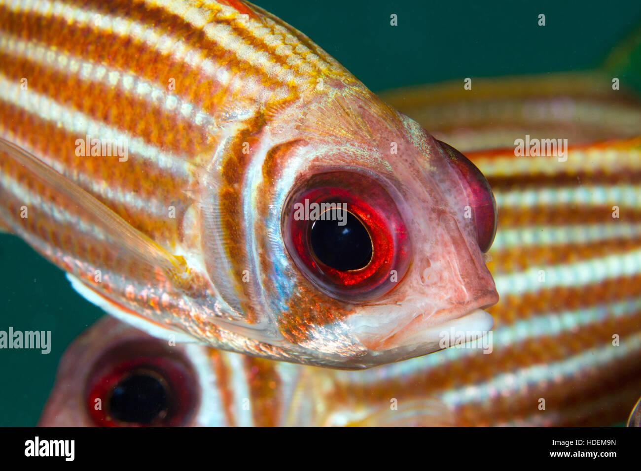Squirrel fish up close. Underwater marine like around Koh Tao, Thailand. - Stock Image