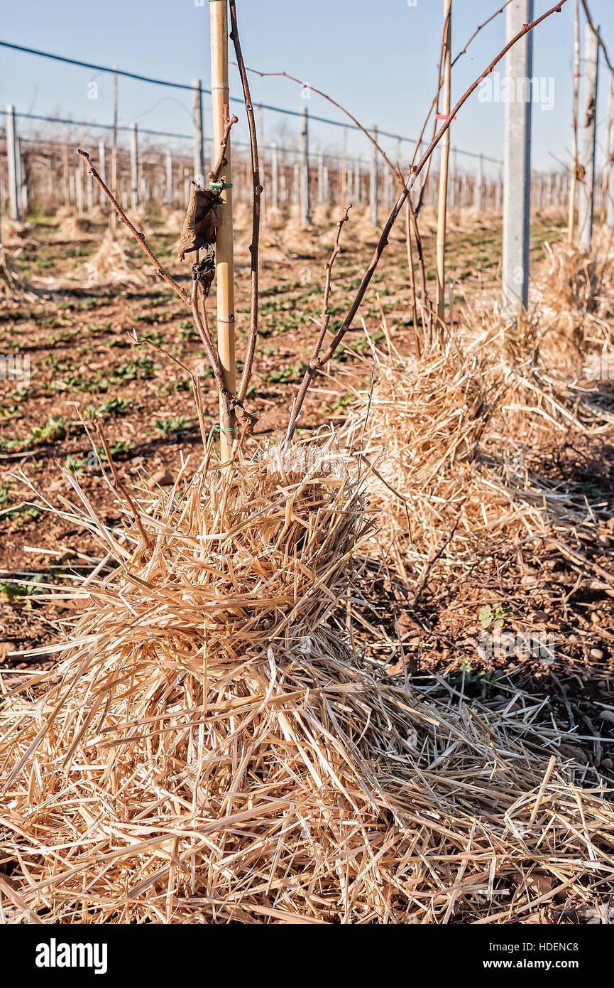 Mulching the roots of young trees of Kiwy with straw. Protection against frost of winter. - Stock Image