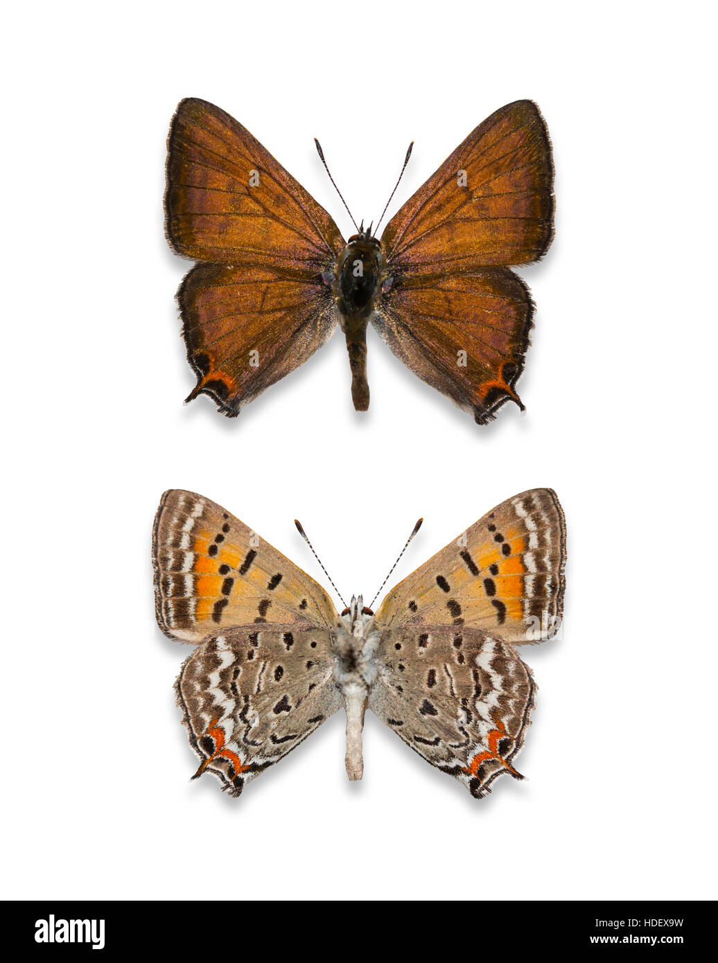 A pair of pinned and spread cutout male Tailed Copper butterflies (Lycaena arota), dorsal and ventral views - Stock Image