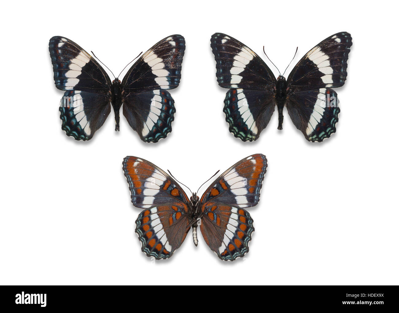 Three pinned and spread cutout White Admiral butterflies (Limenitis arthemis arthemis), dorsal and ventral views - Stock Image