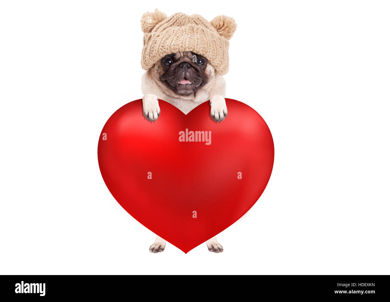 lovely cute pug puppy dog hanging with paws on big valentine's day heart, isolated on white background - Stock Image
