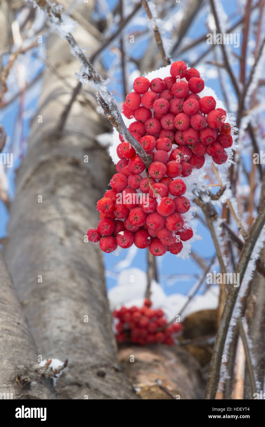 Snow covered orange mountain ash berries from below. Individual snowflakes are seen on the branches. Shallow depth - Stock Image