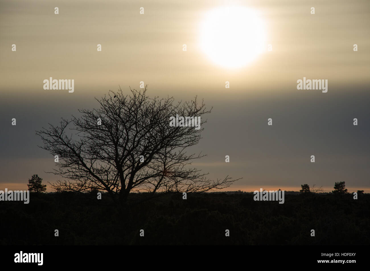 Gloomy landscape with a tree silhouette amongst junipers at the swedish island Oland - Stock Image