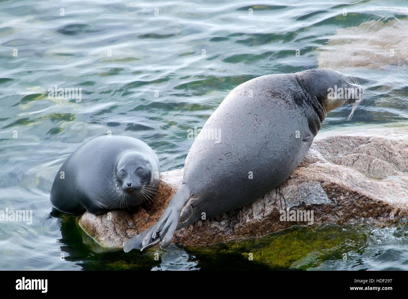 The Baikal seal nerpa - Stock Image