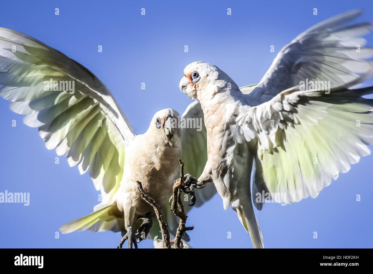 Cockatoos approaching a tree in Australia - Stock Image