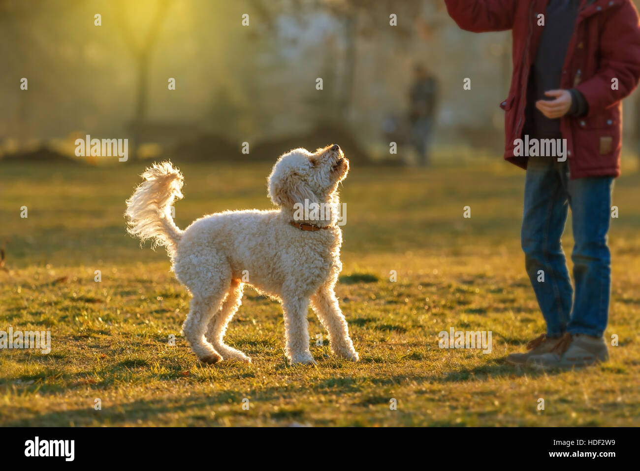 White poodle dog outdoors on green grass - Stock Image