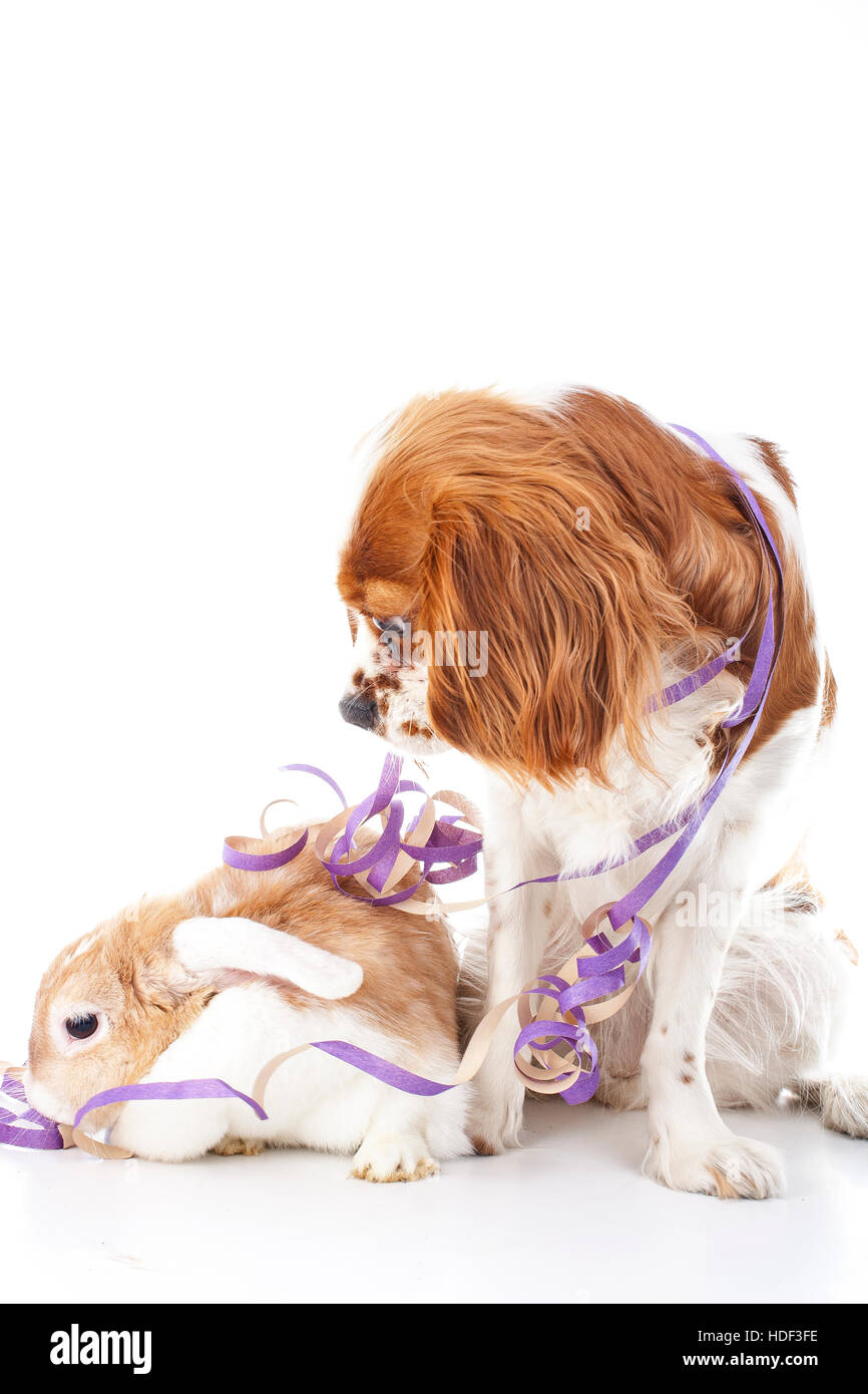Animals celebrate your concept. Bunny lop and dog king charles dog in studio. Rabbit with dog white studio photo - Stock Image