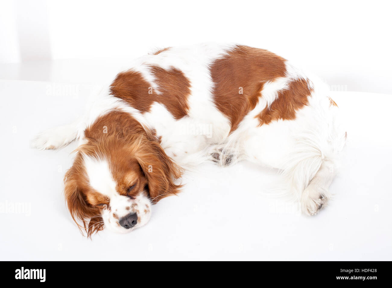 Sleeping dog. Dog sleeping in studio king charles spaniel. White background. cavalier king charles spaniel sleep. - Stock Image