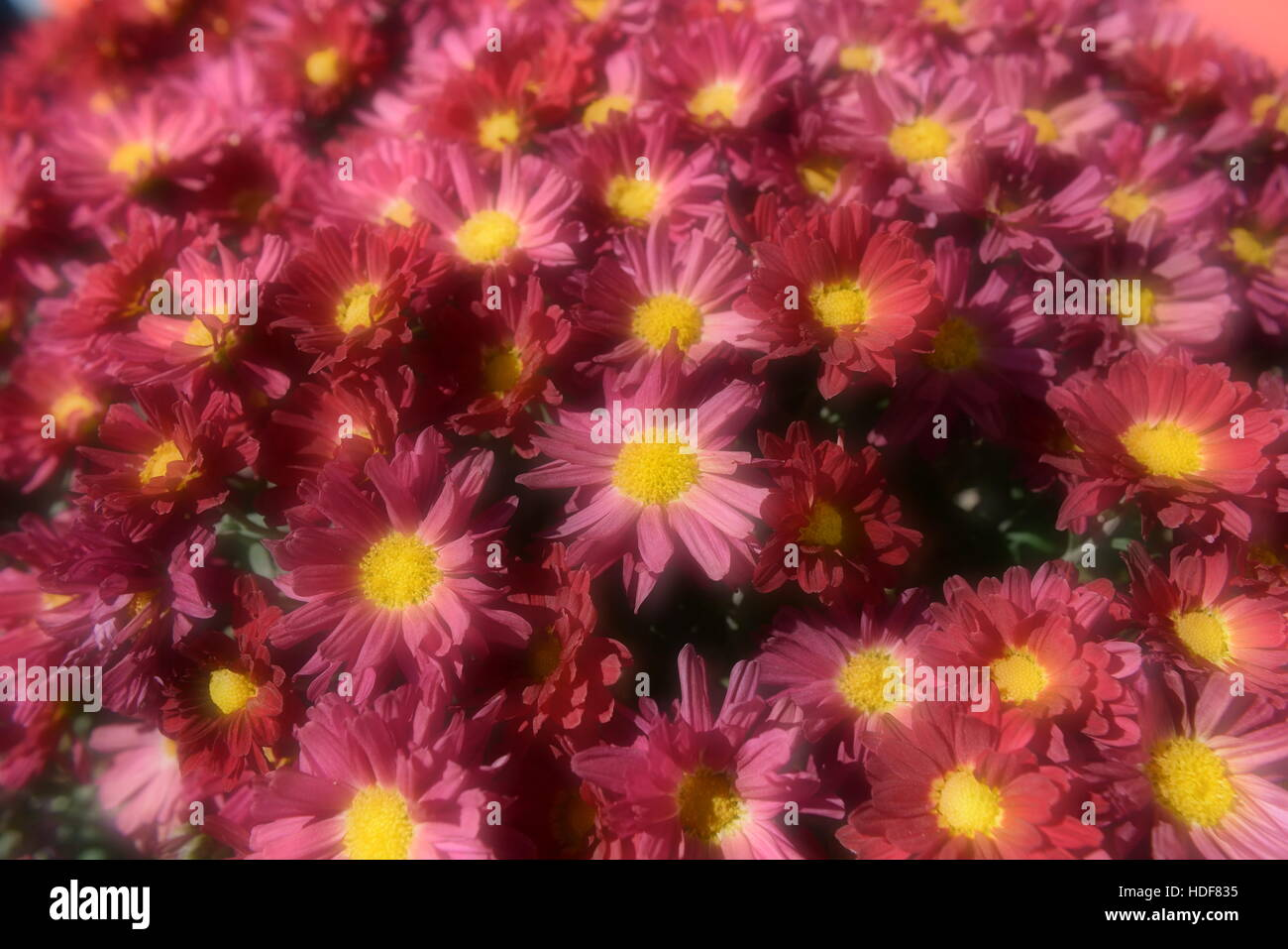 Color enhanced pink flowers! - Stock Image