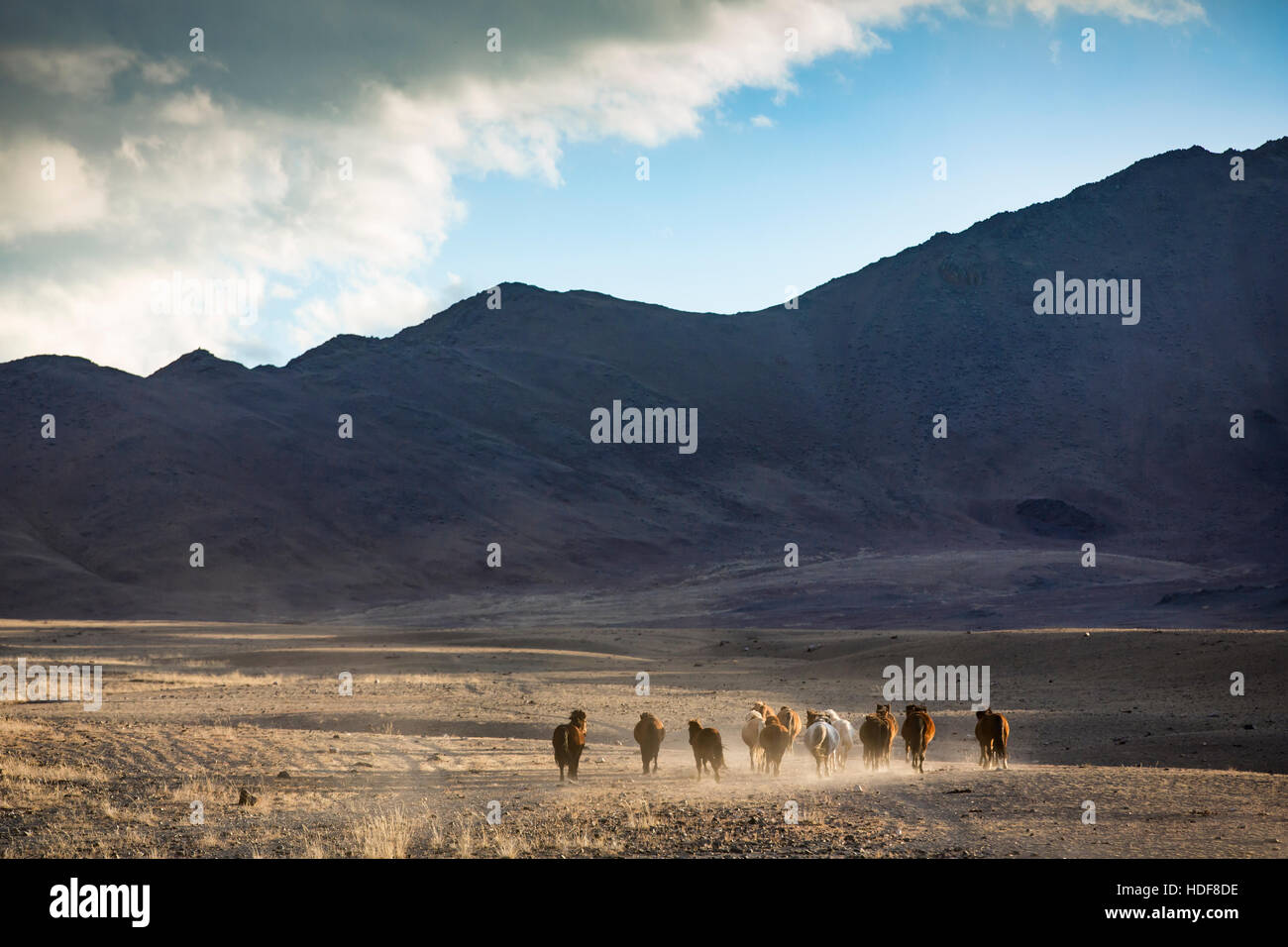 wild mongolian horses running in a steppe - Stock Image