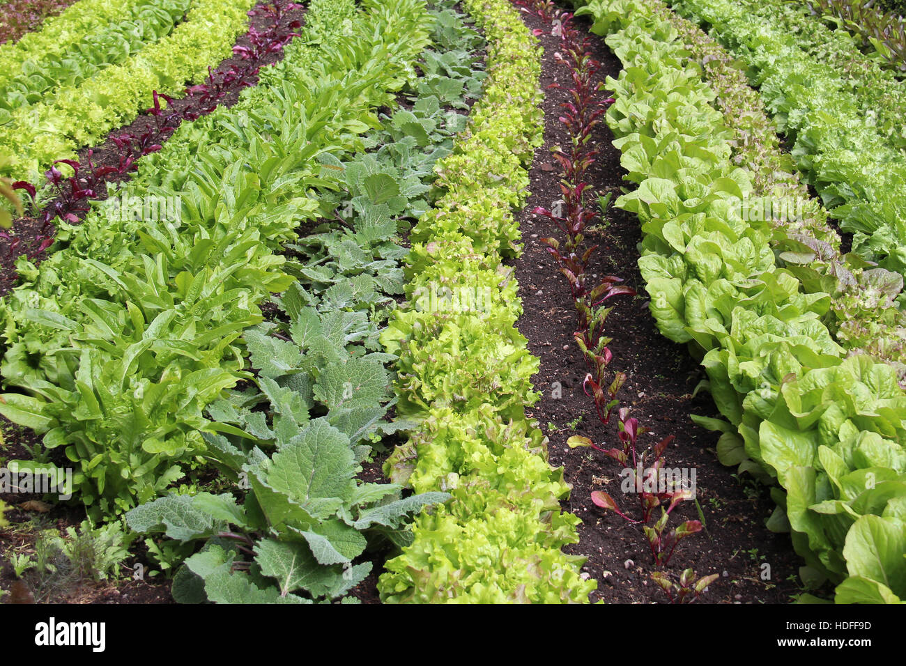 Neat and perfectly aligned green and fresh kitchen garden - Stock Image