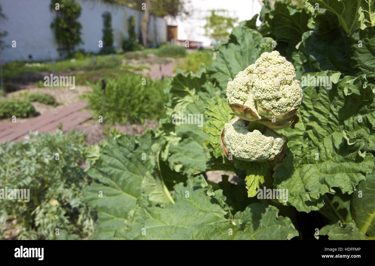 Rhubarb (Rheum rhabarbarum) - Stock Image