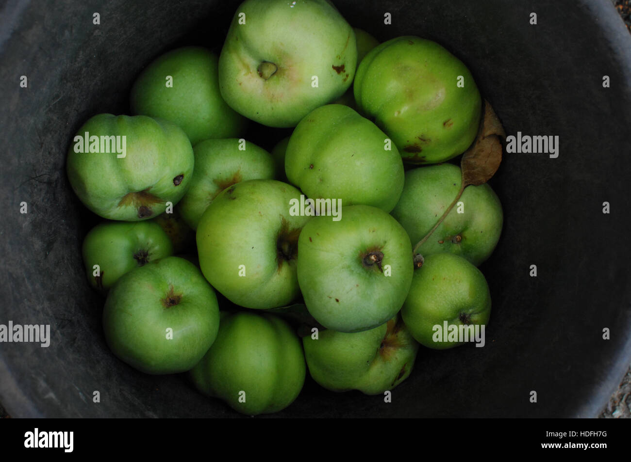 Cooking apples in a barrel. Stock Photo