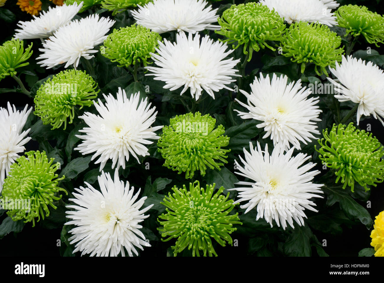 White mums stock photos white mums stock images alamy chrysanthemum flowers green white mums chrysanths stock image mightylinksfo