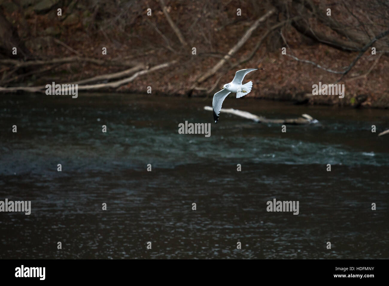 A common gull swoops low over a flowing river. - Stock Image