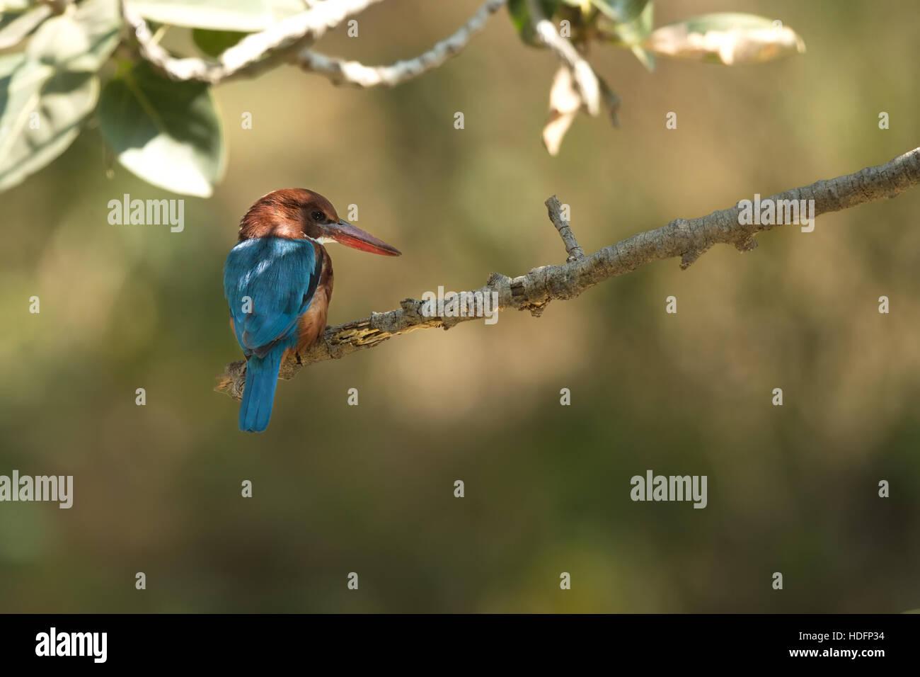 Beautiful bird, White-throated Kingfisher (Halcyon smyrnensis) on the stump, bird of Thailand. - Stock Image