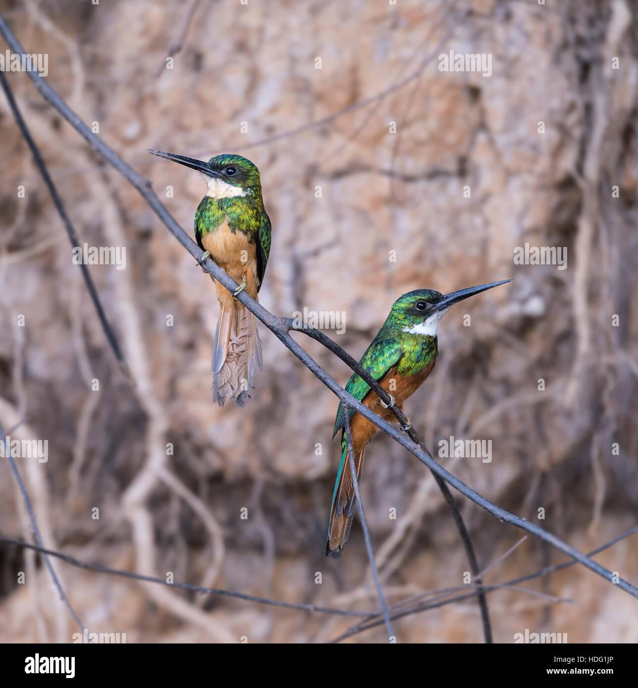 Rufous-tailed Jacamar (Galbula ruficauda) pair - Stock Image