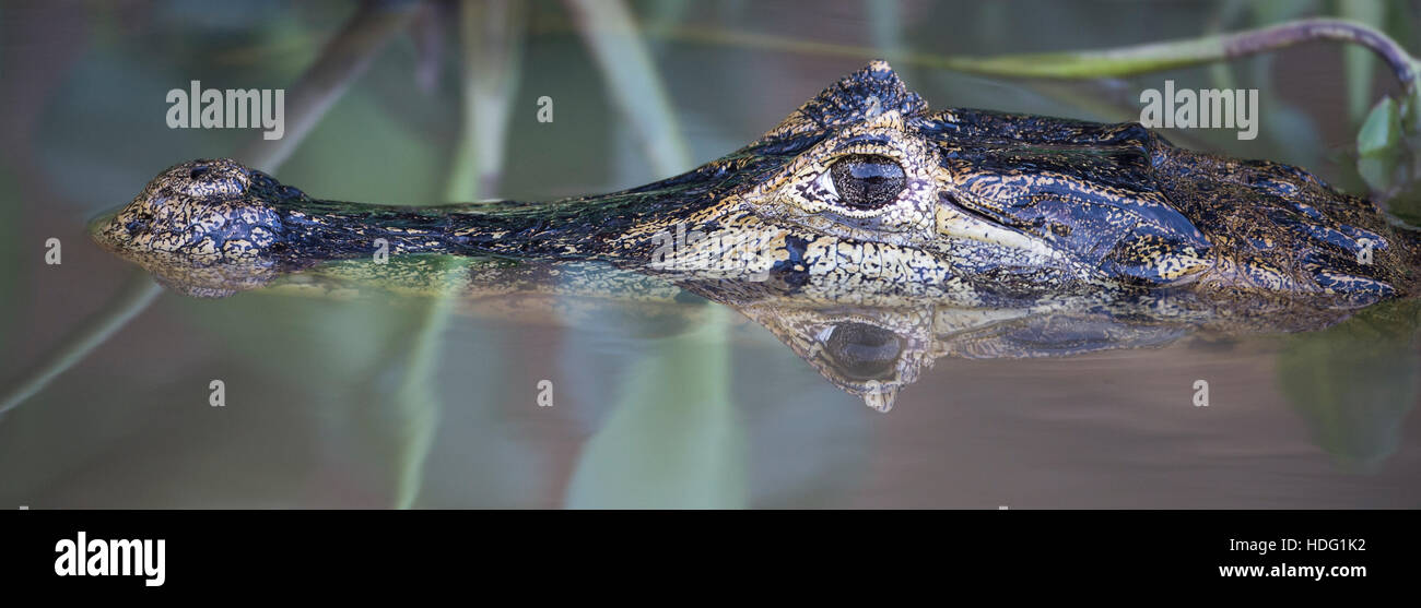 Yacare Caiman (Caiman yacare) close up with reflection - Stock Image