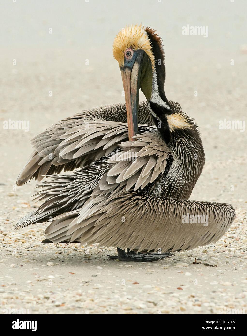 Brown Pelican (Pelecanus occidentalis) preening - Stock Image