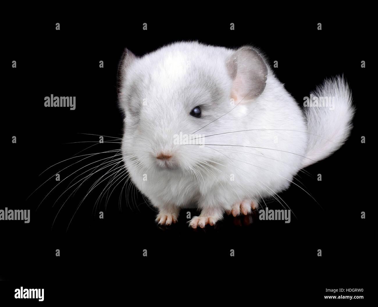 White baby ebonite chinchilla on black background. - Stock Image