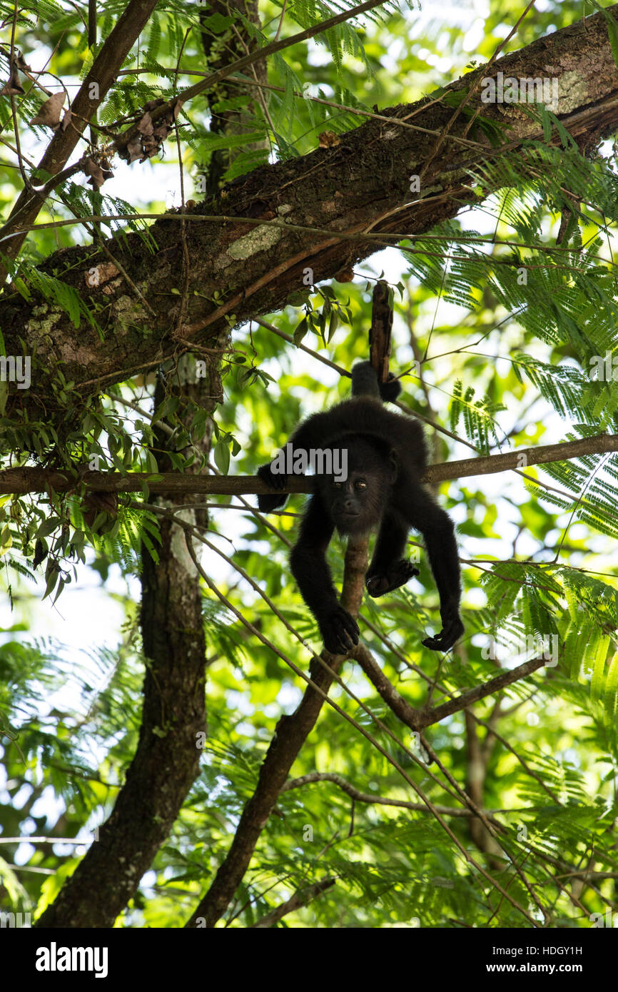 Guatemalan Howler Monkey (Alouatta pigra) hangs with its prehensile tail and feeds on leaves in the Tikal National - Stock Image