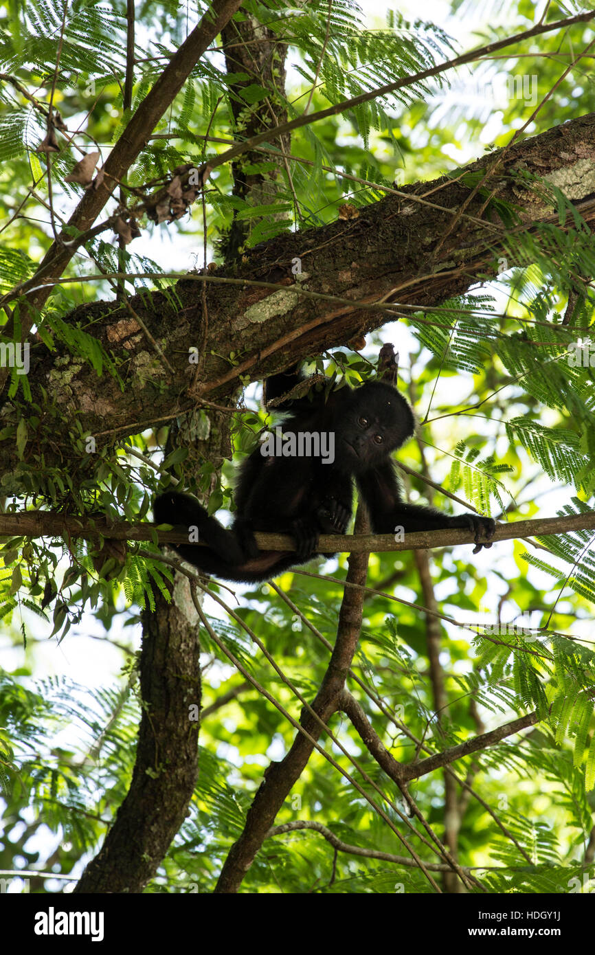 Guatemalan Howler Monkey (Alouatta pigra) hangs on with its prehensile tail and rests on a tree branch in the Tikal - Stock Image
