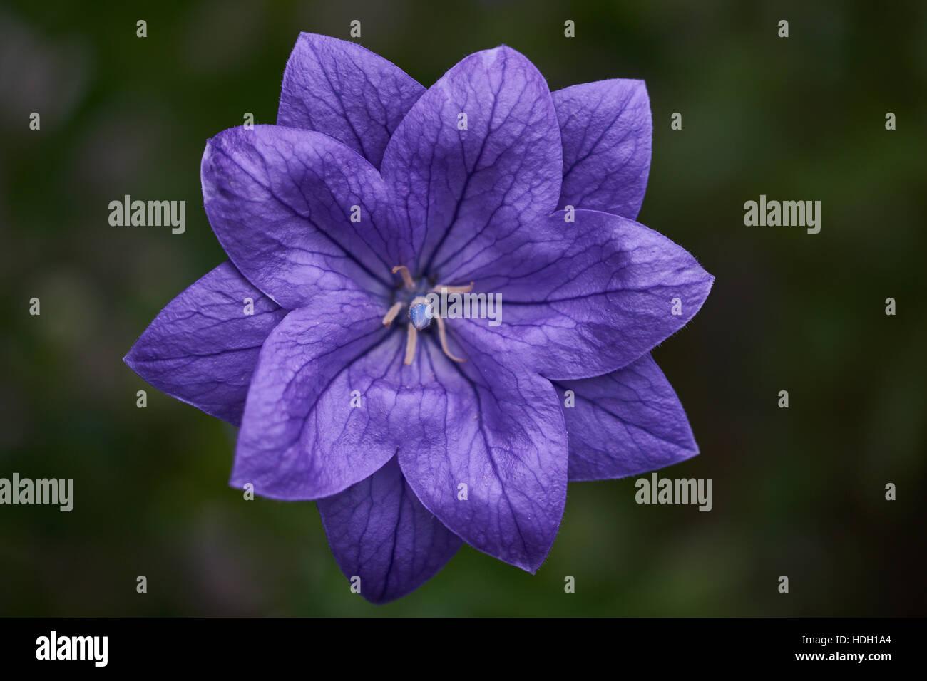 Blue baloon flower close up Platycodon grandiflorus - Stock Image