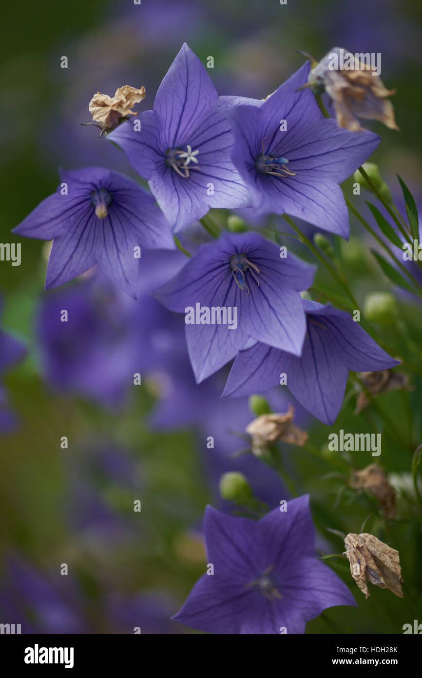 Blue baloon flowers close up Platycodon grandiflorus - Stock Image