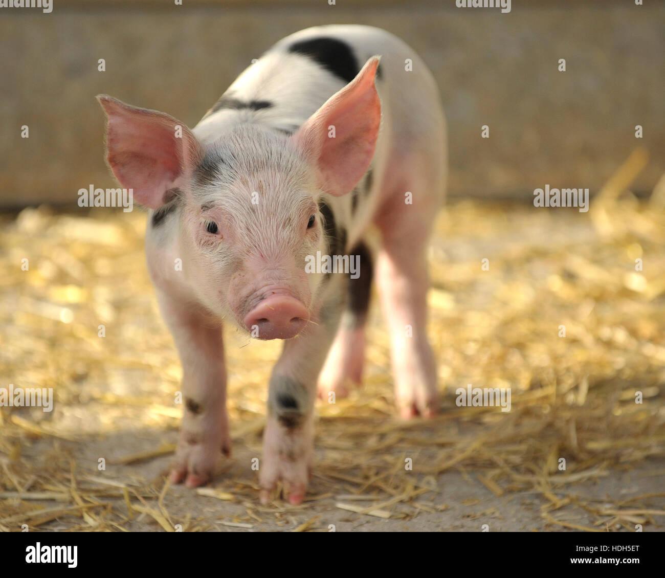 landrace x Gloucester oldspot piglet 5 days old - Stock Image