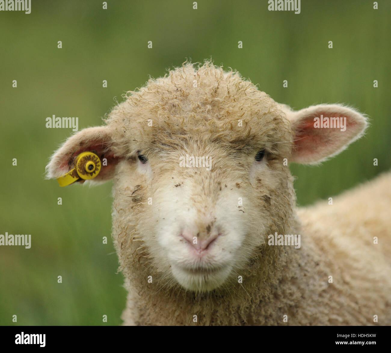 lamb poll dorset x mixed breed Stock Photo