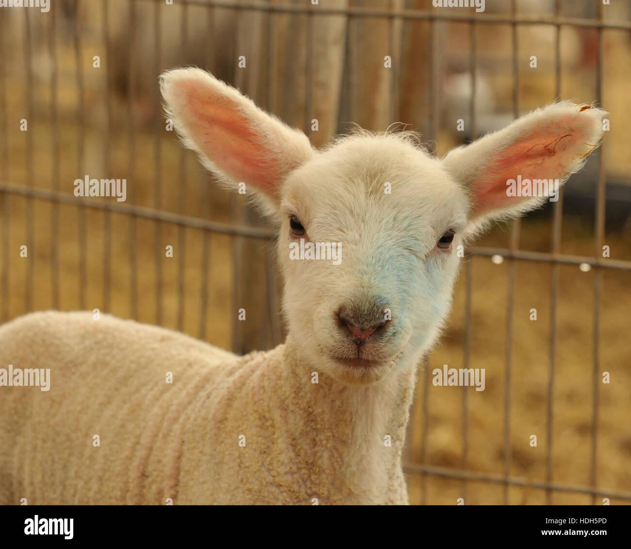 highlander lamb (new zealand) 2 days old - Stock Image