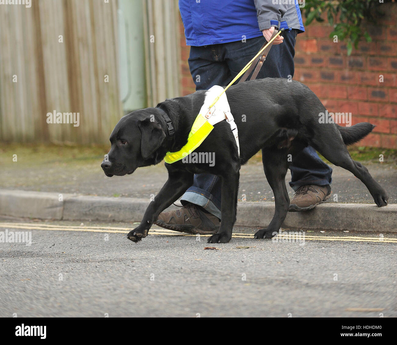 Labradors as guide dogs: an overview & how you can help.