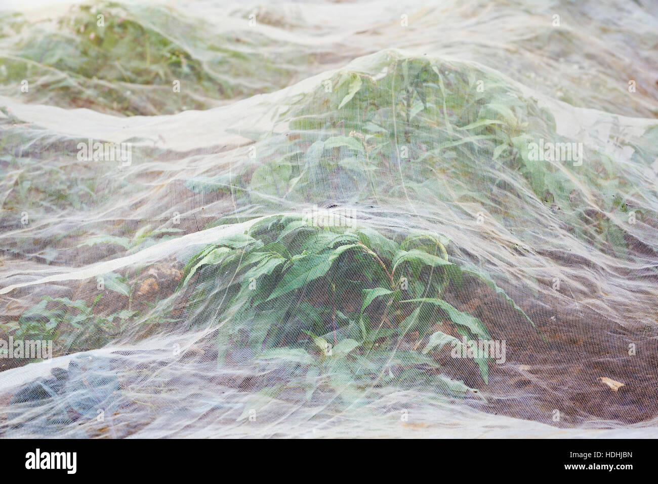 Horticultural fleece covering a growing crop. Stock Photo