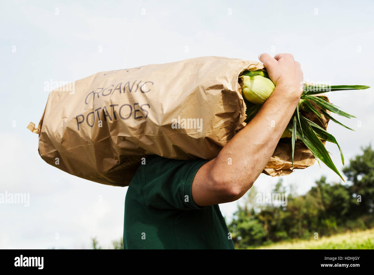 A man carrying a paper sack of harvested sweetcorn cobs - Stock Image
