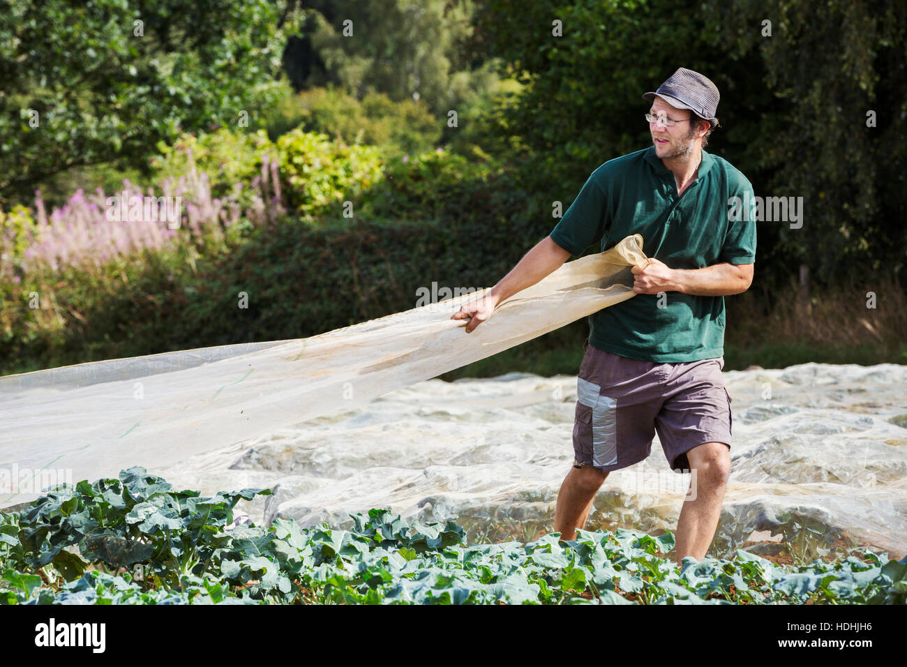 A man pulling a sheet of horticultural fleece over a crop of curly kale plants. - Stock Image