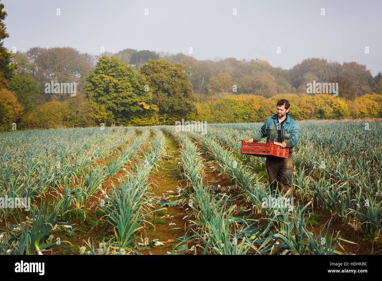 A woman carrying a crate of picked fresh leeks across a field. Stock Photo