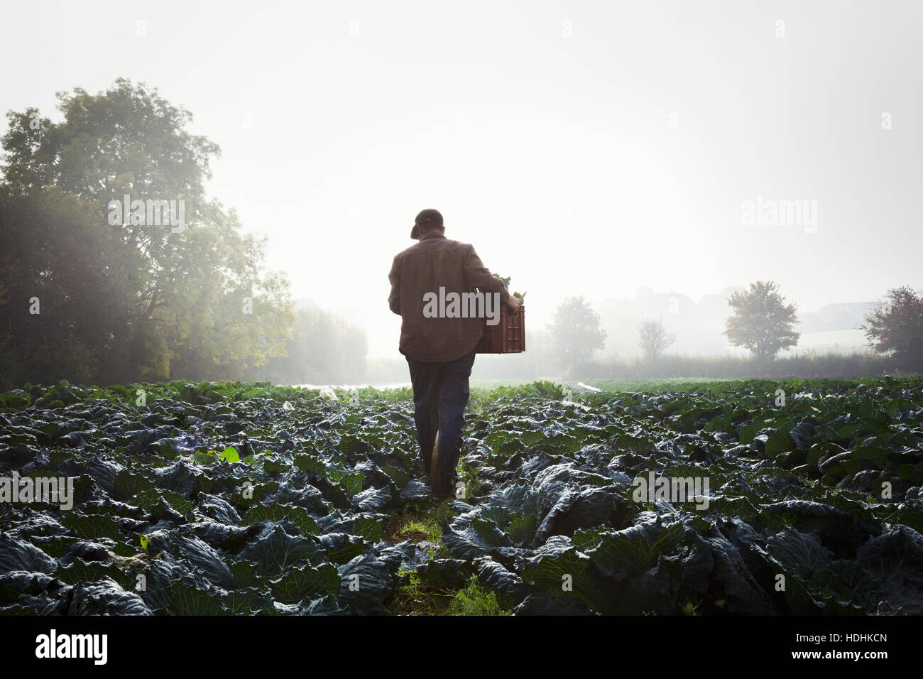 One person walking through rows of vegetables in a field, mist rising over the fields. - Stock Image