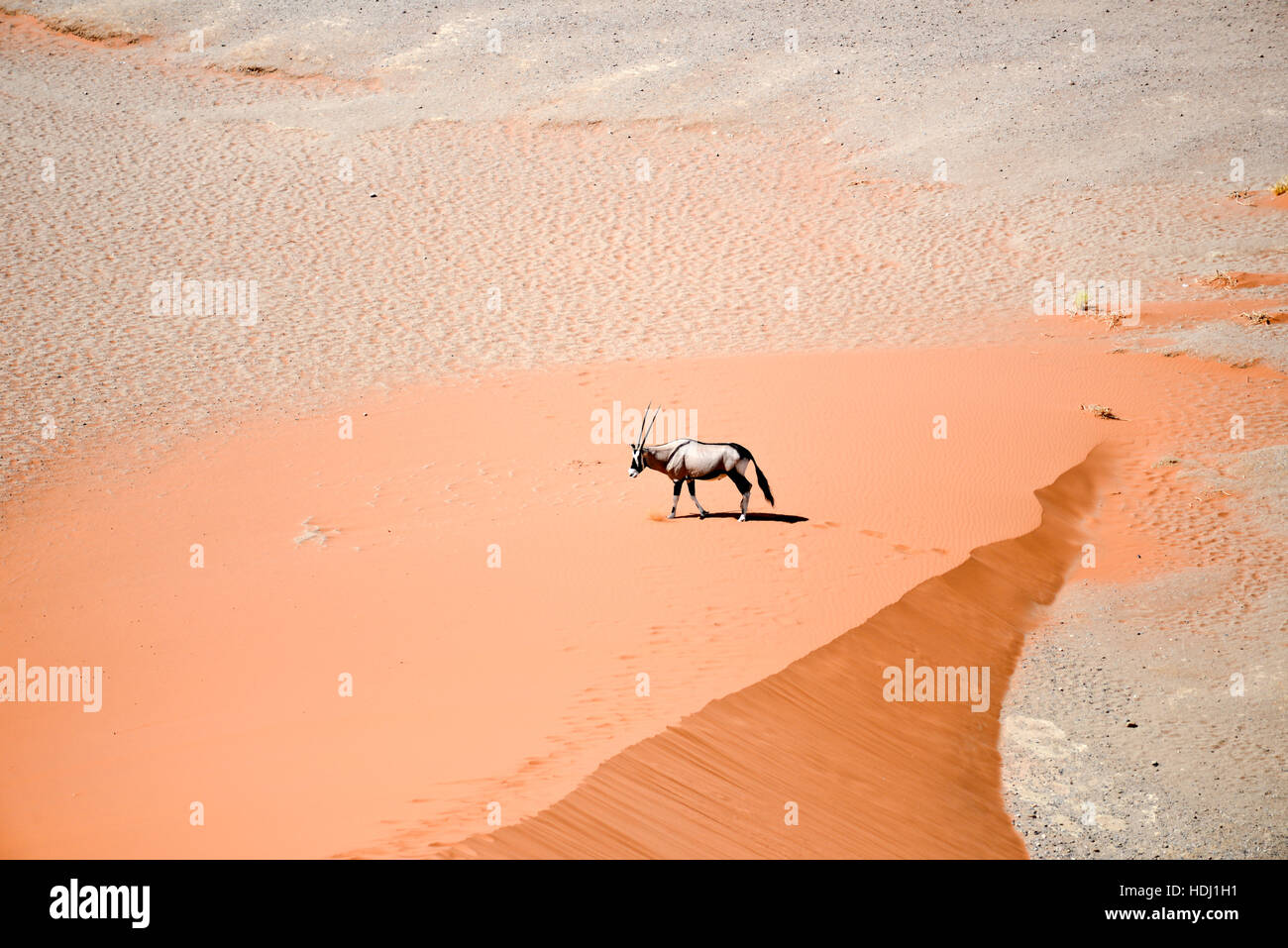 oryx in Namibia - Stock Image