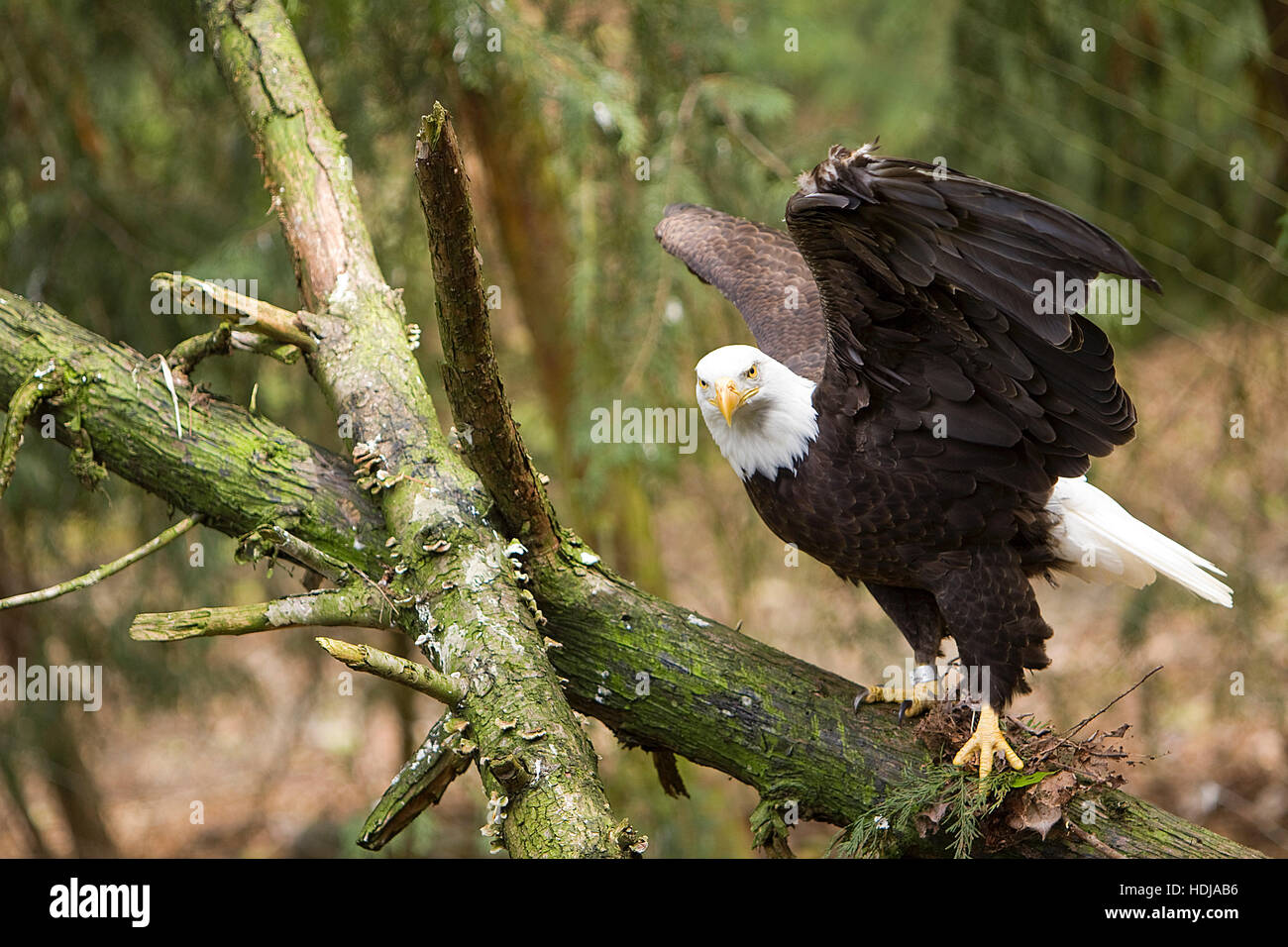 A Bald Eagle with wings open looking straight into the camera - Stock Image