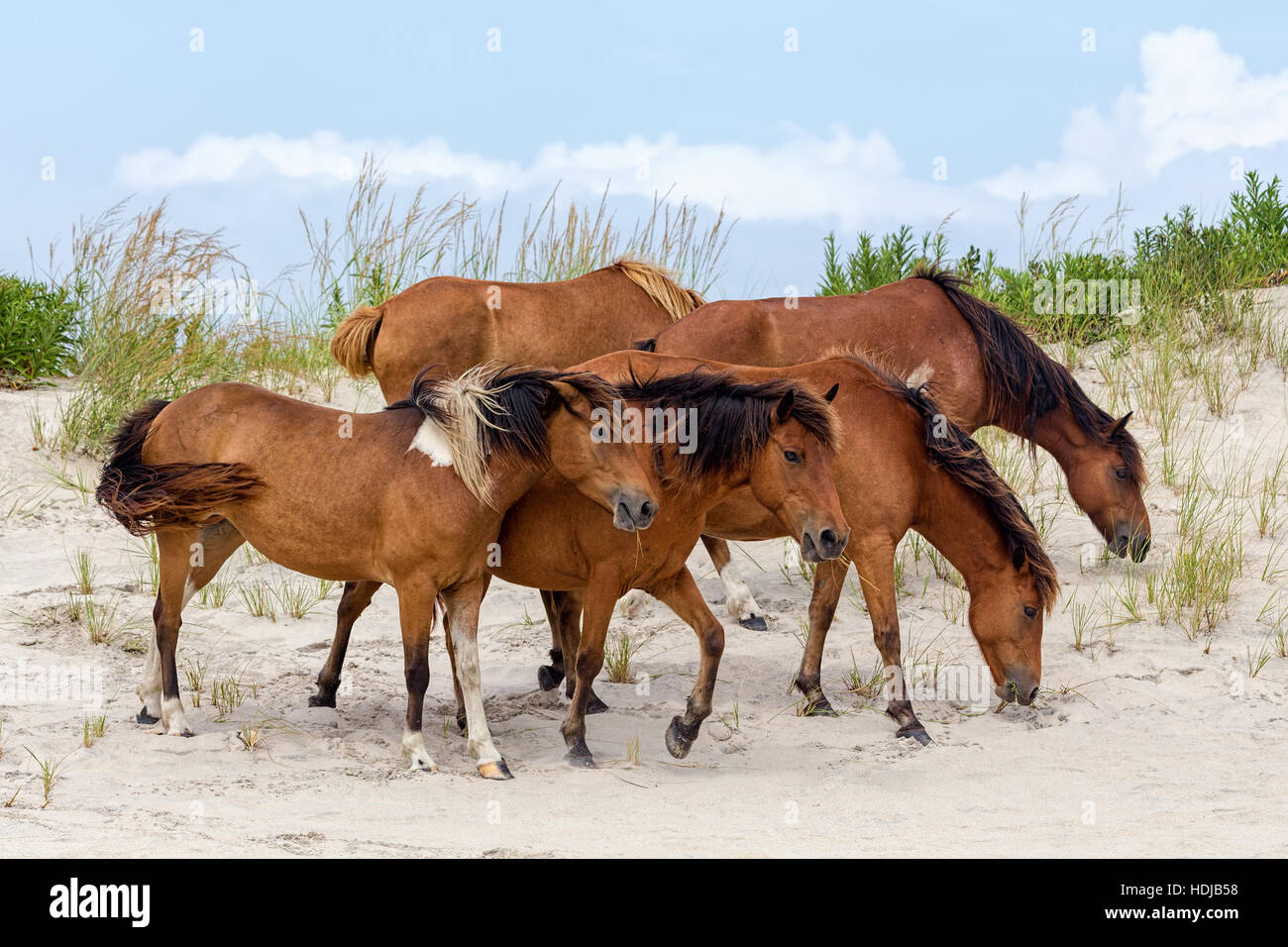 A group of wild ponies, horses, of Assateague Island on the beach in Maryland, USA. - Stock Image