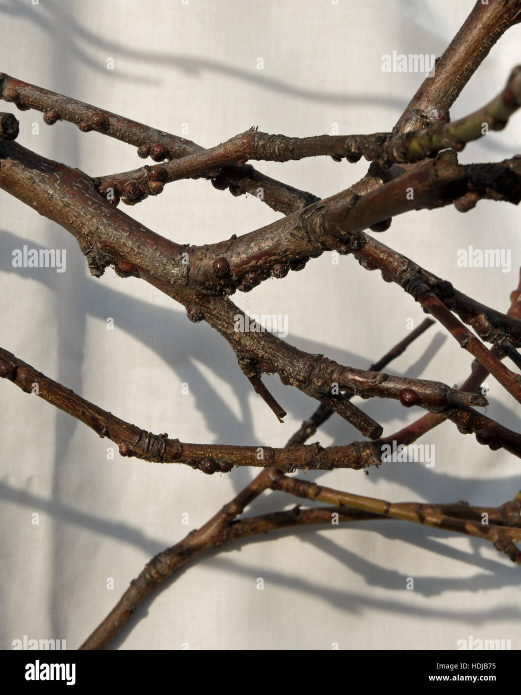 peach tree scale insect Stock Photo