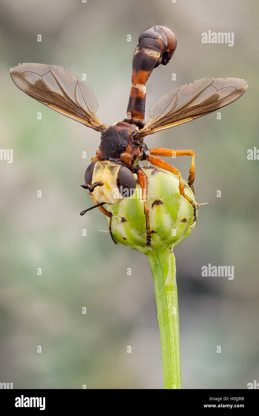 The Conopidae, usually known as the thick-headed flies, they are most frequently found at flowers, feeding on nectar - Stock Image