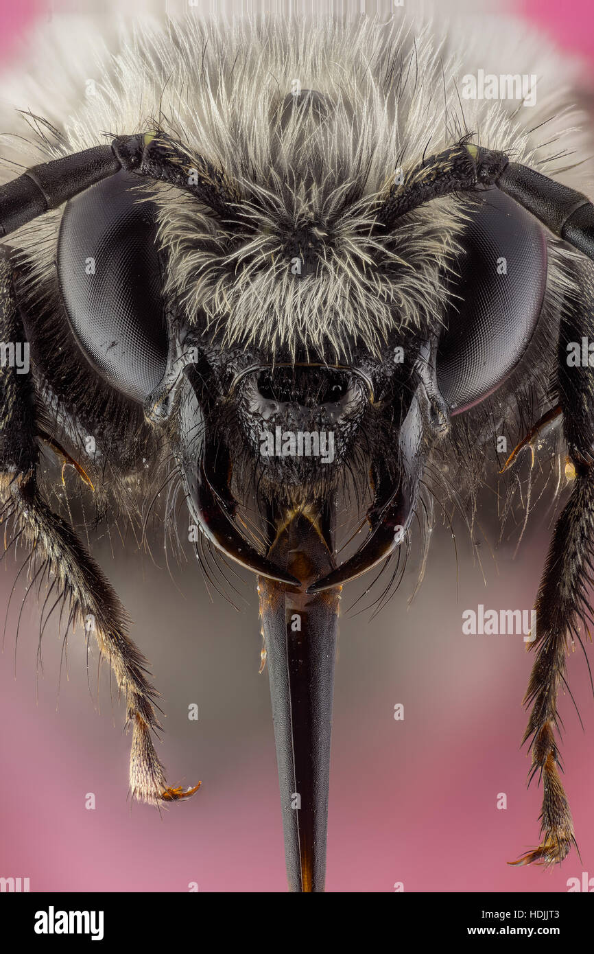 Bees are flying insects closely related to wasps and ants, known for their role in pollination and, in the case - Stock Image