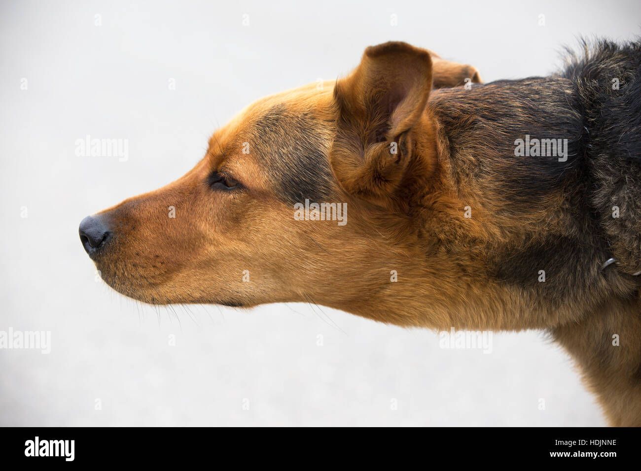 German Shepherd crossbred dog sniffing the breeze - Stock Image