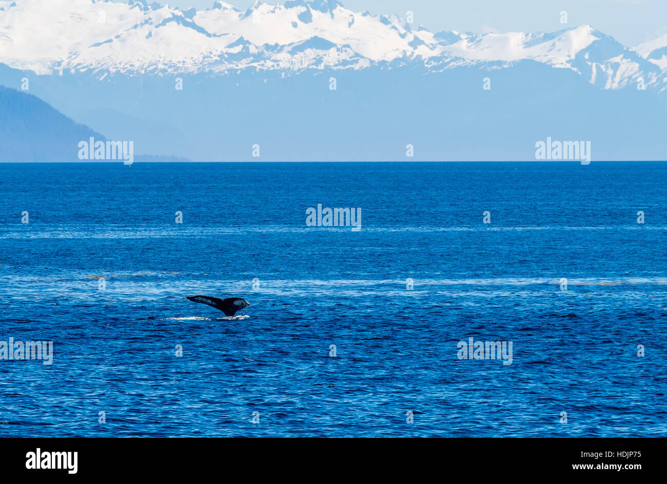 View of snow capped mountains of the Tongass Rainforest in southeastern Alaska with a whale sounding in the foreground - Stock Image